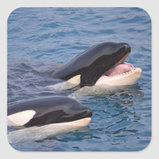 Two killer whales square sticker