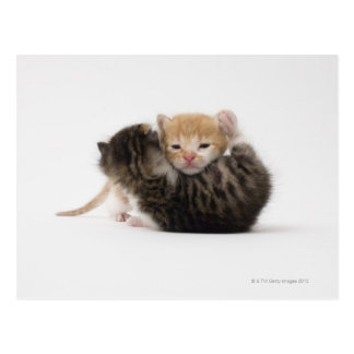 Two kittens cuddling on white background postcard