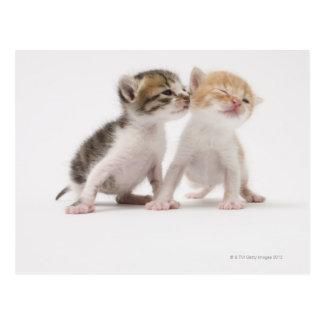 Two kittens kissing against white background postcard