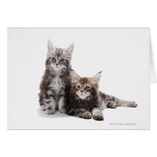 Two kittens of Maine coon cat Card