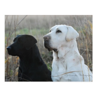 Two Labs Postcard