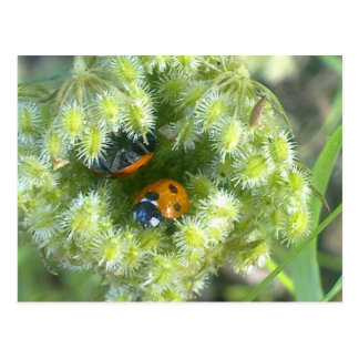 Two Ladybirds Taking Shelter Postcard