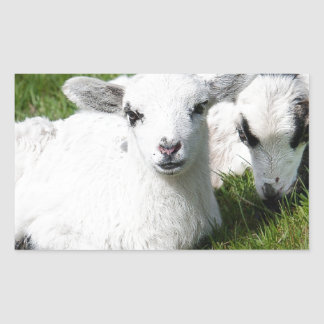 Two lambs rectangular sticker