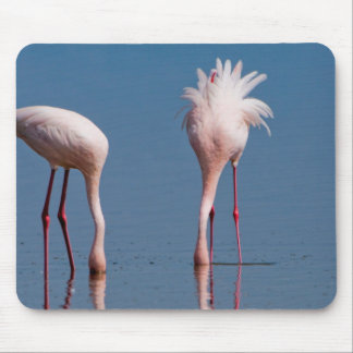 Two Lesser Flamingos (Phoenicopterus Minor) Feed Mouse Pad