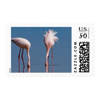 Two Lesser Flamingos (Phoenicopterus Minor) Feed Postage