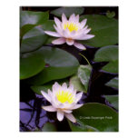 Two Light Water lilies Poster