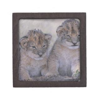 Two Lion Cubs Premium Trinket Box