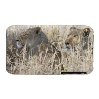 Two lions hidden in dry grass, Kruger National iPhone 3 Cover