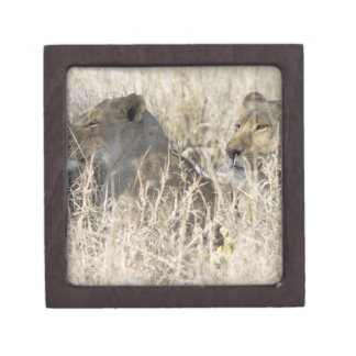 Two lions hidden in dry grass, Kruger National Jewelry Box