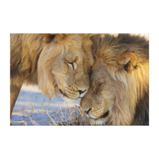 Two Lions rubbing each other Canvas Print