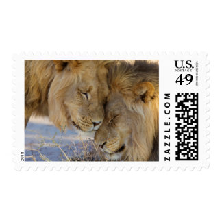 Two Lions rubbing each other Postage