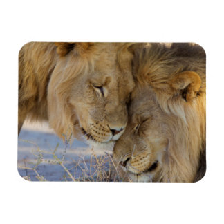Two Lions rubbing each other Rectangular Photo Magnet