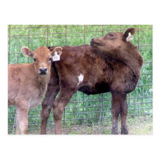 Two Little Heifers Postcard