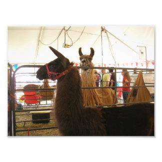 Two Llamas at a County Fair Photographic Print