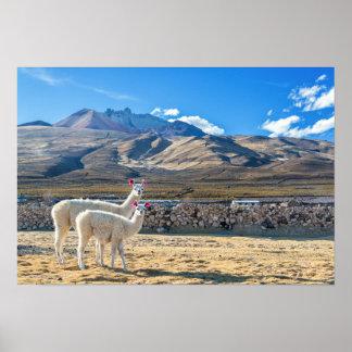 Two Llamas in Bolivia Poster