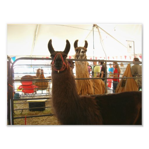 Two Llamas Side By Side Photograph