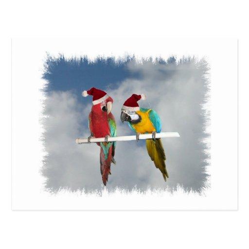Two macaw Santas Postcard