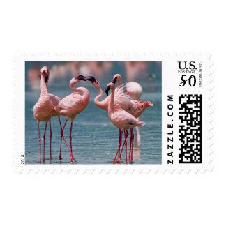 Two Male Lesser Flamingos (Phoenicopterus Minor) Postage