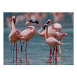 Two Male Lesser Flamingos (Phoenicopterus Minor) Poster