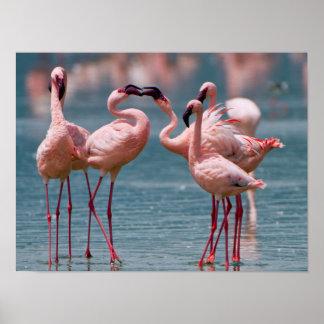 Two Male Lesser Flamingos (Phoenicopterus Minor) Poster