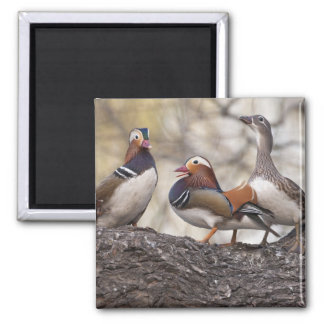 Two males vying for a female Mandarin duck 2 Inch Square Magnet