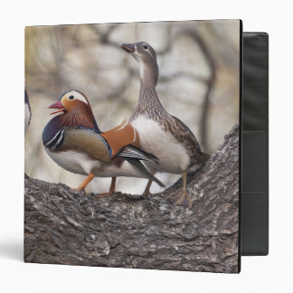 Two males vying for a female Mandarin duck 3 Ring Binder