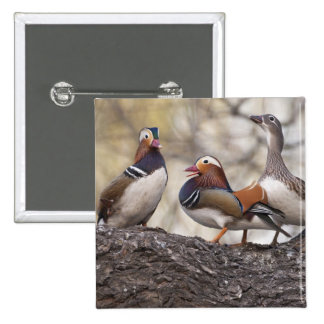 Two males vying for a female Mandarin duck 2 Inch Square Button