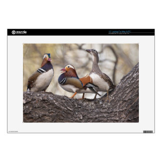 "Two males vying for a female Mandarin duck Decals For 15"" Laptops"
