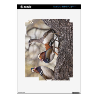 Two males vying for a female Mandarin duck iPad 3 Skin