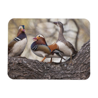 Two males vying for a female Mandarin duck Rectangular Photo Magnet