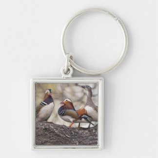 Two males vying for a female Mandarin duck Silver-Colored Square Keychain