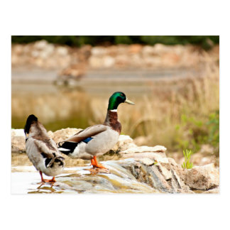 Two Mallard Ducks Postcard