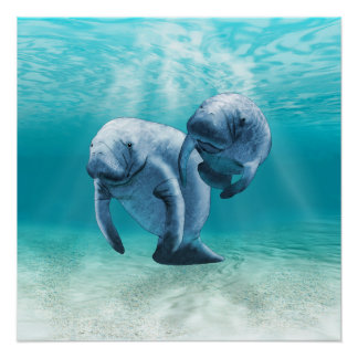 Two Manatees Swimming Perfect Poster