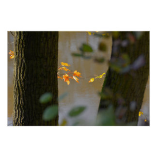 two maple trees with autumn leaves at the lake, print