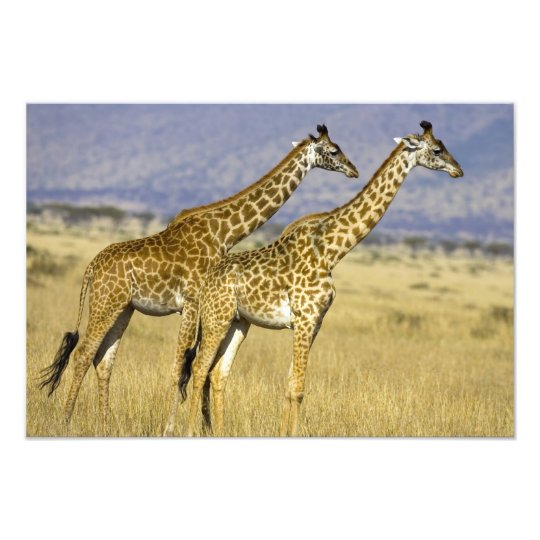 Two Masai Giraffes Giraffa camelopardalis Photo Print
