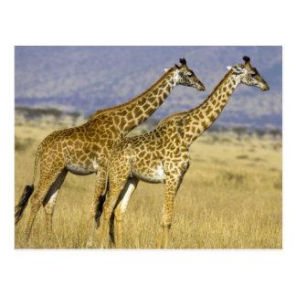 Two Masai Giraffes Giraffa camelopardalis Postcard