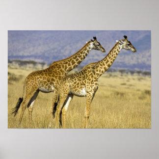 Two Masai Giraffes Giraffa camelopardalis Poster
