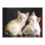Two Mekong Bobtail Tabby Point Kittens Stretched Canvas Prints