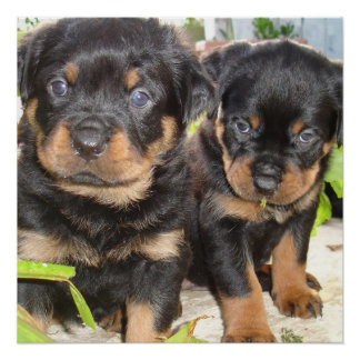 Two Mischievious Rottweiler Puppies Poster