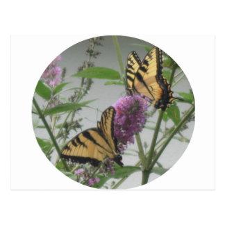 Two Monarchs Postcard