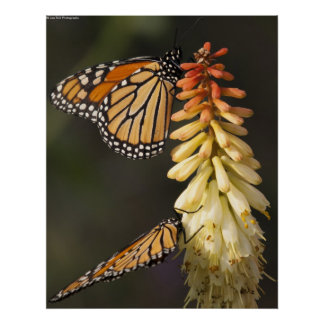 Two Monarchs Posters