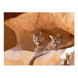 two mountain lions postcard