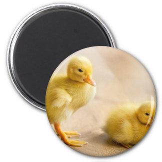 Two newborn yellow ducklings on wooden floor magnet