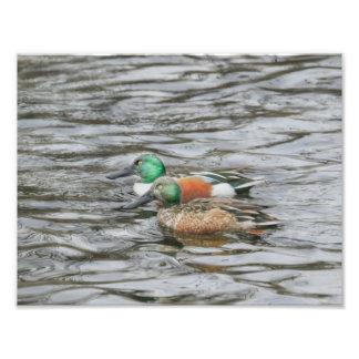 Two Northern Shoveler Ducks Photo Print