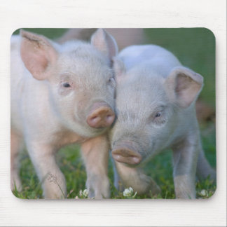Two Nuzzling White Piglets - Cute Baby Animals Mouse Pad