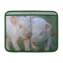 Two Nuzzling White Piglets - Cute Baby Animals Sleeve For MacBook Air