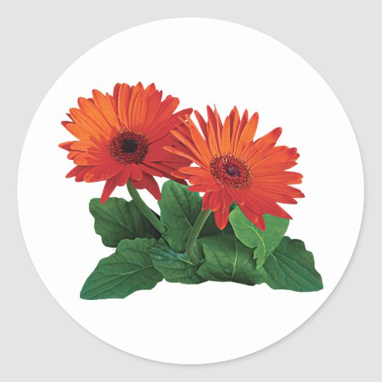 Two Orange Gerbera Daisies Classic Round Sticker