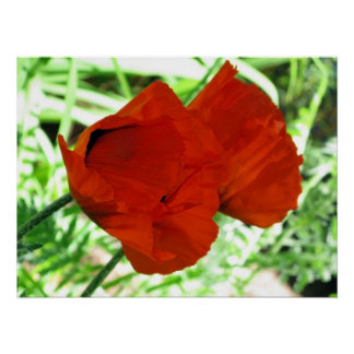Two Oriental Poppies Poster