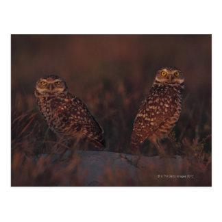 Two Owls on Sand Postcard