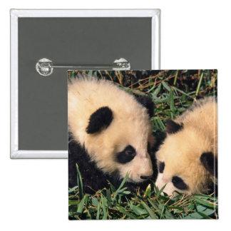 Two panda cubs in the bamboo bush, Wolong, Buttons